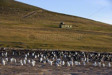 Gentoo penguin colonies and touristic lodge Falkland Islands