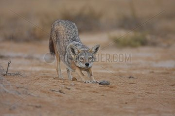 African wolf streching before the night Senegal