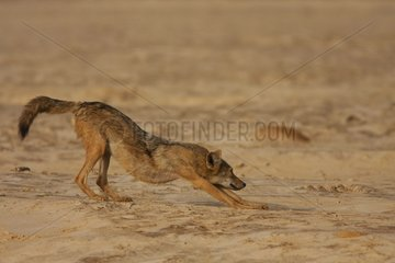 African wolf streching in Senegal