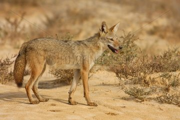 Young african wolf in Senegal