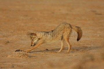 Young african wolf playing in Senegal