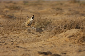 Young african wolf howling in Senegal