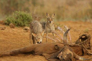 African wolves eating a dead zebu in Senegal