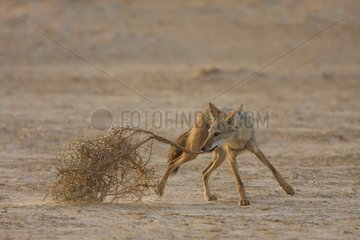 Young african wolf playing with a tamarisk in Senegal
