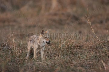 Young african wolf playing with a zebu dung in Senegal