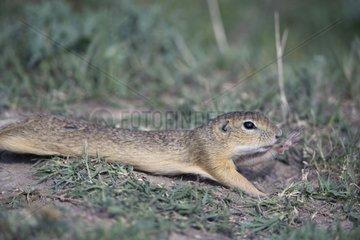 Eurasian ground squirrel stretching Bulgaria