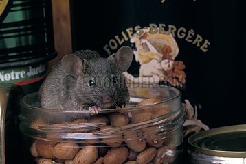 Common house mouse stealing food in a cupboard France
