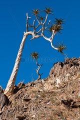 Bastard Quiver Tree in the Richtersveld mountains RSA