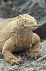 Santa Fe Land Iguana at sun Galapagos