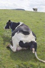 Debut du vêlage d'une Prim'Holstein au pré
