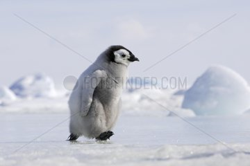 Young Emperor penguin walking on the ice Antarctica