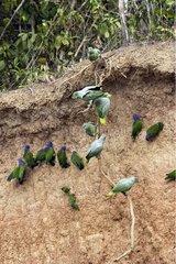Blue Headed parrots Clay cliff Tambopata Peru