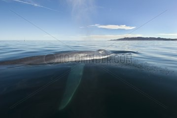 Blue whale passing a whale watching boat Gulf of California