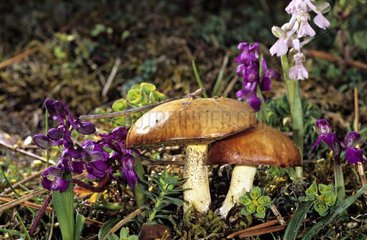 Weeping Bolete & Green-Winged Orchids on humus France