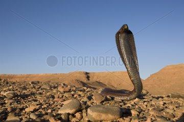 Egyptian Cobra crawling in a rocky desert Morocco