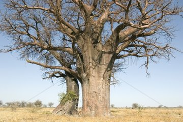 Baobabs trees face to face and intertwining Botswana
