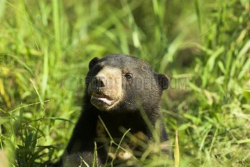 Sun bear in the dense vegetation of the ground Indonesia