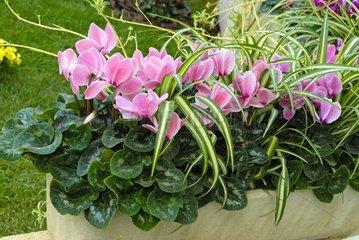 Cyclamen en jardinière