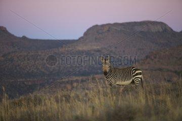 Cape mountain zebra Mountain Zebra NP South Africa