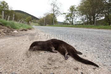 Otter dead by the road side at spring Scotland