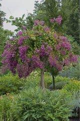 Lilas des Indes 'Soir d'été' en fleur dans un jardin