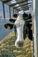 Cows eating at their trough cornadis France