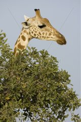 Portrait of Nigerian Giraffe Niger