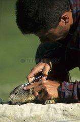 Capture de Marmotte des Alpes pour étude scientifique France