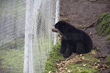 Spectacled Bear sitting in front of a fence Imbabura
