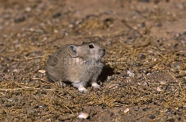 Royle's Pika at an altitude of 4800 meters Tibet China