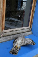 Sparrowhawk killed in a collision with a glass France