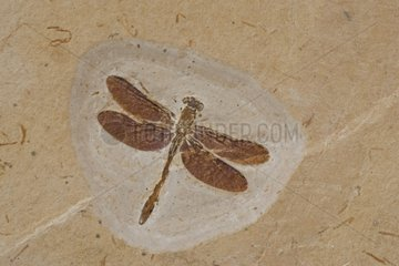 Dragonfly Fossil Santana Formation of Ceara state Brazil