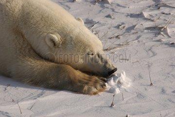 Portrait of a Polar bear sleeping in snow Canada