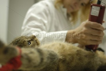 Shearing of a cat anaesthetized before operation France