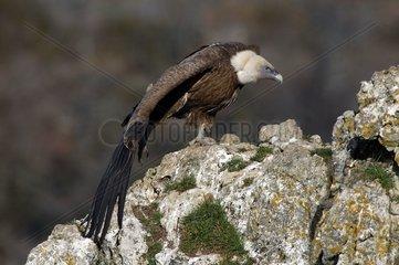 Vautour fauve étirant ses ailes Gorges du Tarn France