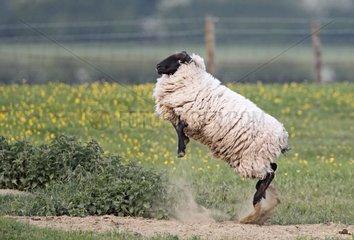 Suffolk sheep jumping in the air at spring England