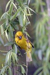 Tisserin du Cap mâle perché entre des branches