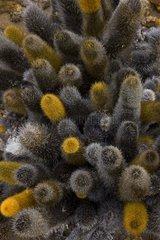 Lava Cactus Galapagos Bartolome Island