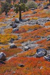 Sesuvium and rocks Plaza Island Galapagos