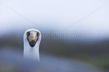 Masked Booby gooming Espanola Island Galapagos