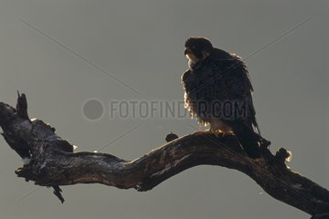 Peregrine Falcon perched on a branch above vacuum Jura