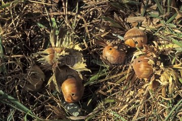Hazelnuts infested by the Hazelnut Weevil Italy
