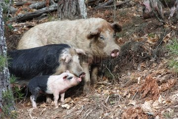 Corsican pigs loose in a chestnut grove - Corse France