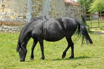 Pregnant mare wearing a birth alarm