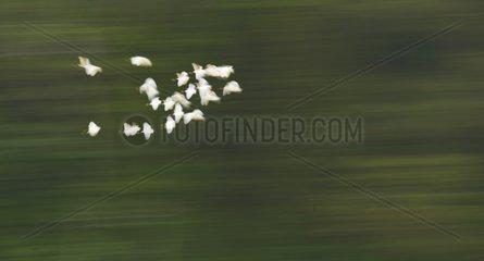 Waders flight above the Sungai Kinabatangan river Borneo