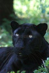 Portrait de Panthère noire au repos à l'ombre des arbres
