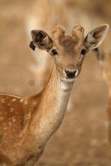 Male Farming fallow deer South Australia
