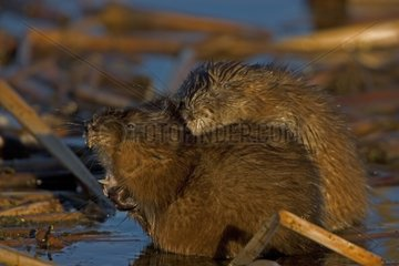 Muskrats on a vegetable carpet flooded New York USA