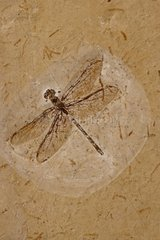 Dragonfly Fossil Santana Formation in Ceara state Brazil