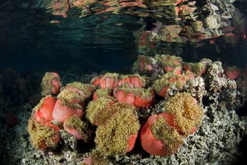 Magnificent Sea Anemone in a lagon Tahiti